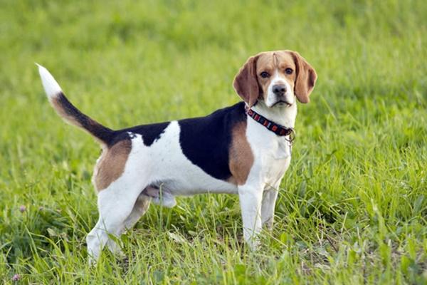 Beagle e Basset Hound: tutte le differenze tra questi due cani meravigliosi