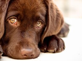 cucciolo di cane marrone