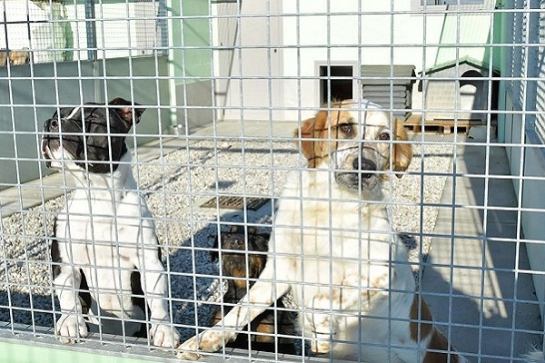 cani nel box di un canile