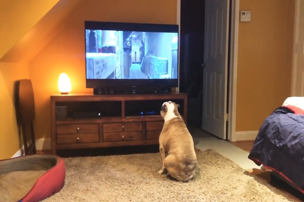 Due Bulldog guardano con molta attenzione un film horror (VIDEO)