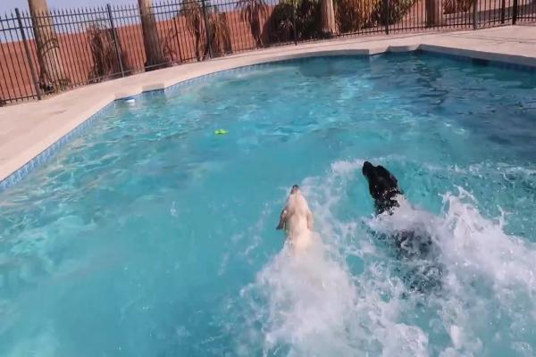 Due bellissimi fratelli Labrador nuotano insieme (VIDEO)