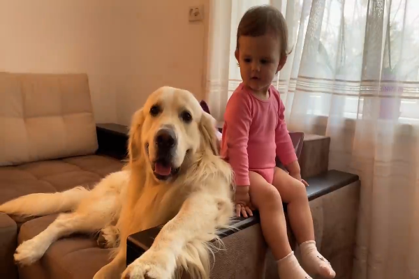 Un golden retriever è innamorato della sorellina umana (VIDEO)