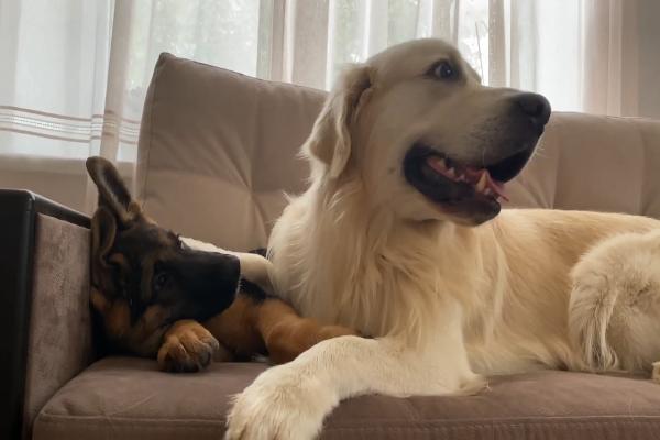 Golden retriever e Pastore tedesco sono migliori amici (VIDEO)