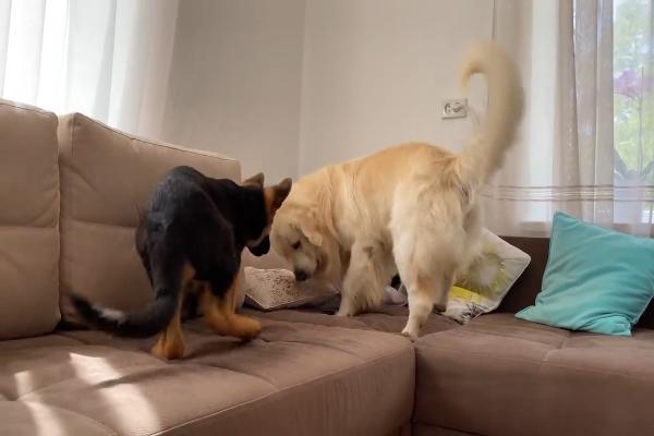 Un golden retriever gioca con un pastore tedesco cucciolo (VIDEO)