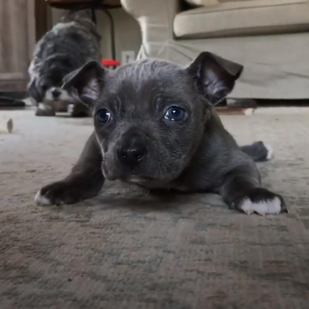 Hugo, il cucciolo di pitbull che sogna di camminare prima o poi (VIDEO)