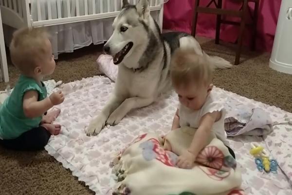 Husky gioca con due gemelli in un modo davvero dolce (VIDEO)