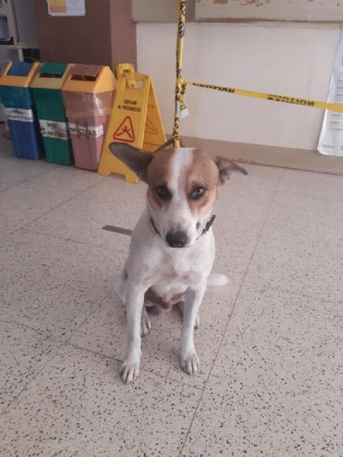 Il cucciolo Medikal Brownie lavora in un ospedale (FOTO)