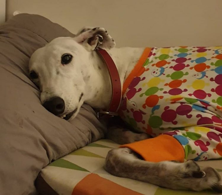 Il levriero Salty Hund non dorme se il suo cuscino non è a posto (VIDEO)