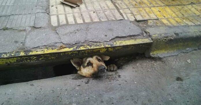 salvataggio cucciolo bloccato canale fognario