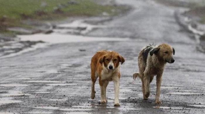 cani randagi camminano