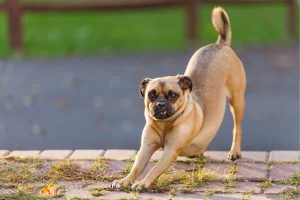 Razze di cani nate da incroci: ecco quali sono e chi sono i genitori