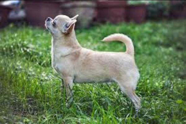 Chihuahua, come insegnare a questo cane ad ascoltarti sempre e subito