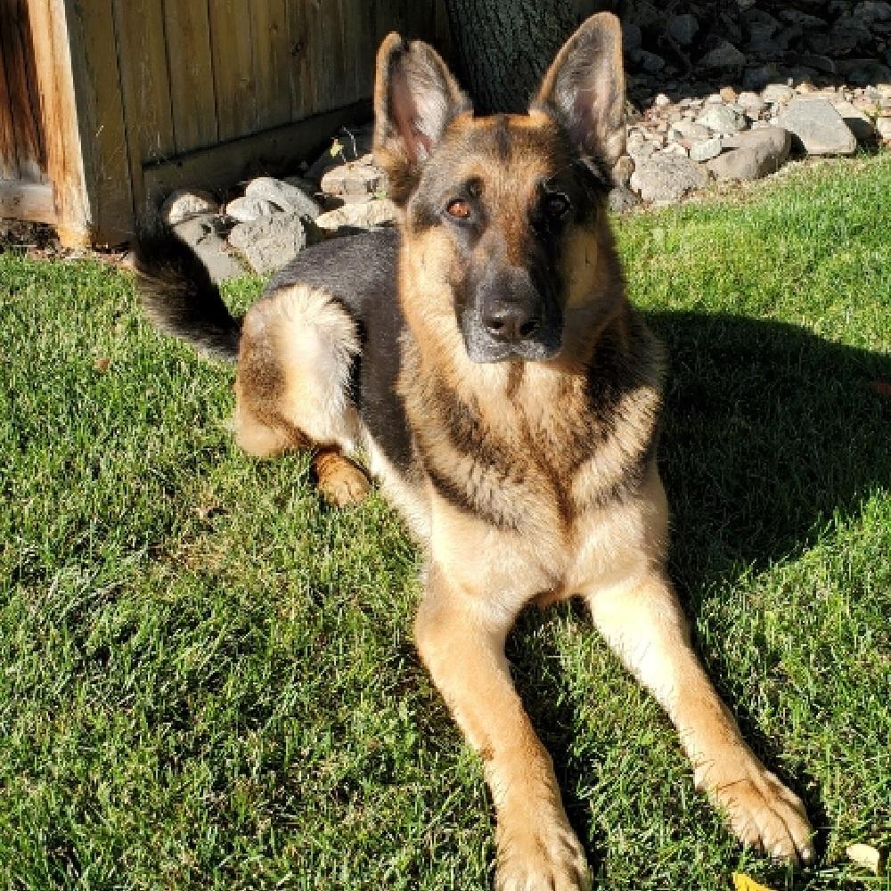 jett cane pastore tedesco pregi