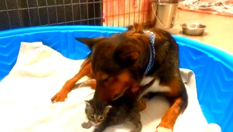 cagnolino accudisce gattini