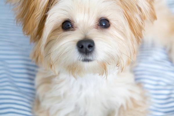 cane maltese piccolo