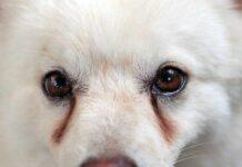 cane con le macchie sotto agli occhi