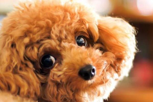 cane barboncino marrone