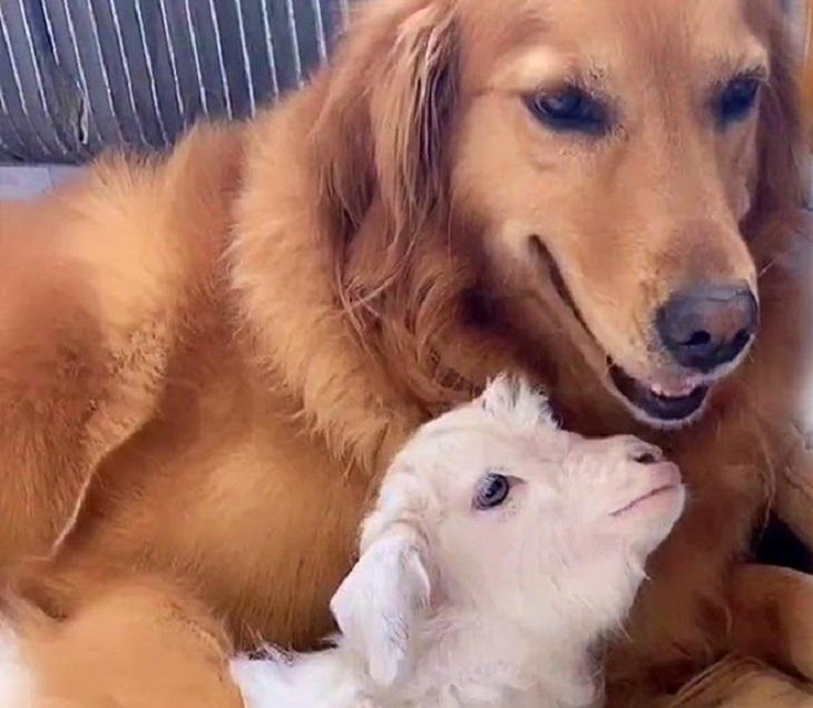 Niuniu, il Golden Retriever che allatta una capretta (VIDEO)