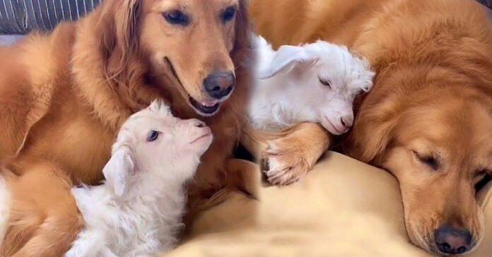 niuniu golden retriever che allatta una capretta