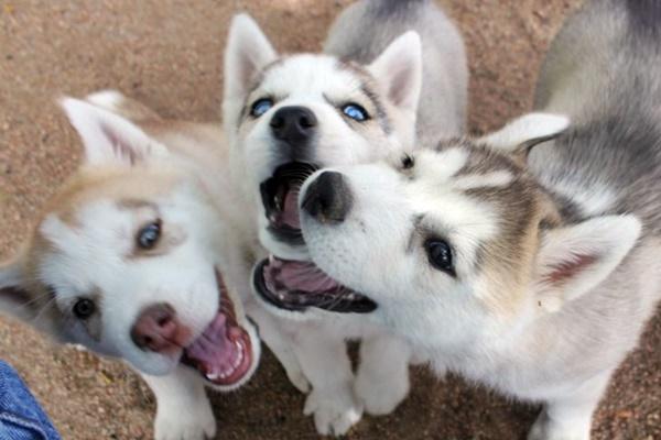 cuccioli di alaskan husky