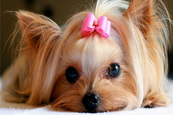 cagnolina con il fiocchetto rosa