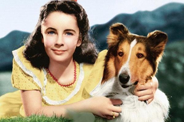 la rough collie Lassie