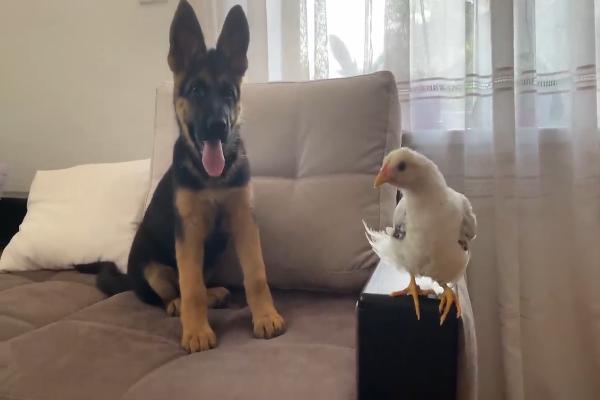 Un pastore tedesco incontra un cucciolo di pollo per la prima volta (VIDEO)