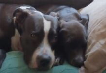 pi cagnolina senza zampa trova famiglia ideale