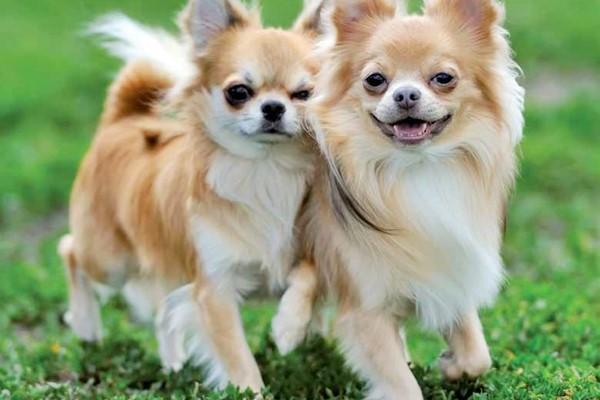Chihuahua, quanti tipi ne esistono? Piccola guida a questo piccolo cane