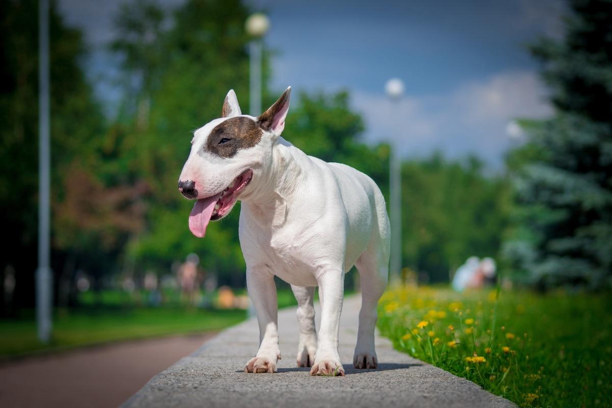 Miniature Bull Terrier cane