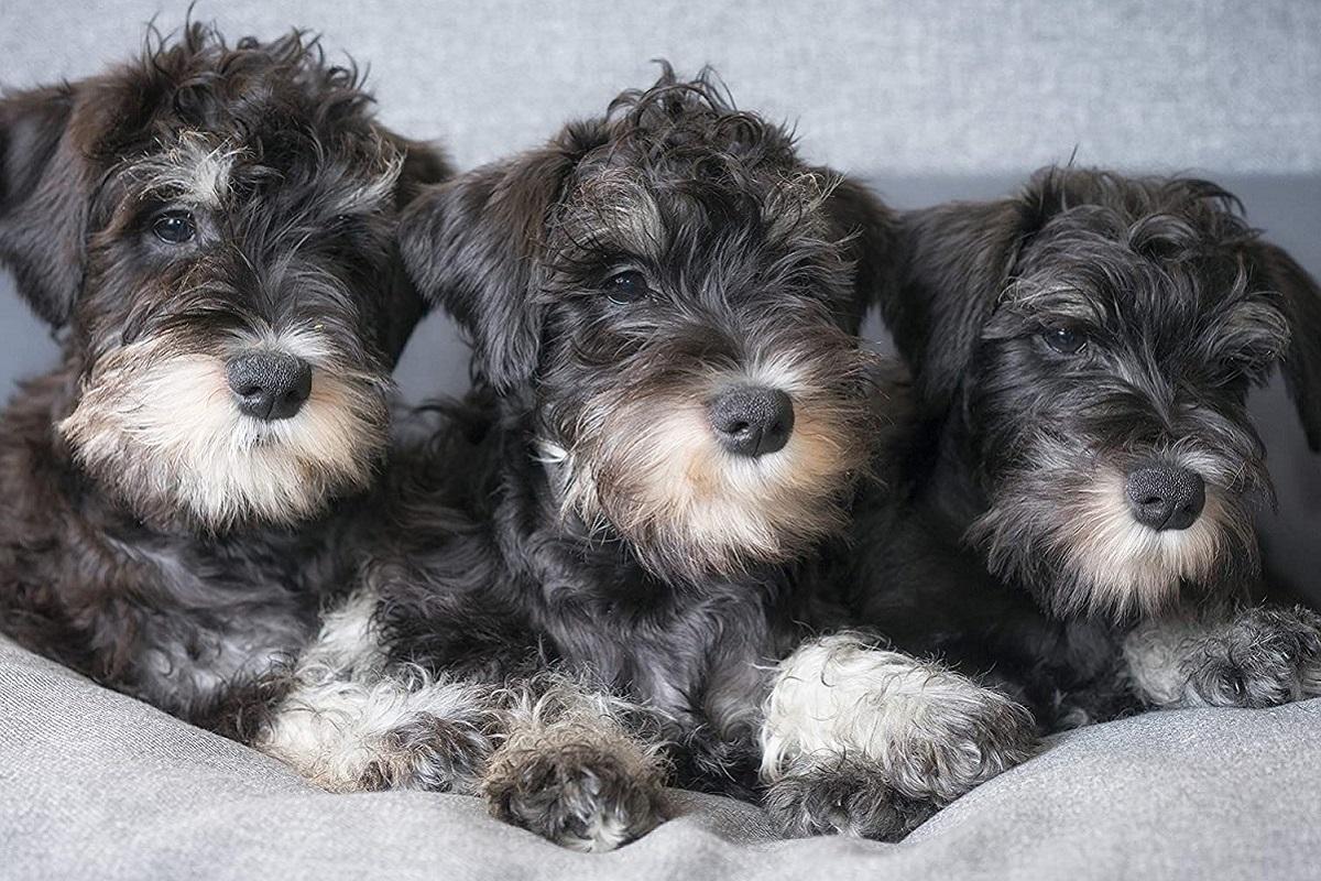 Zwergschnauzer cuccioli di cane