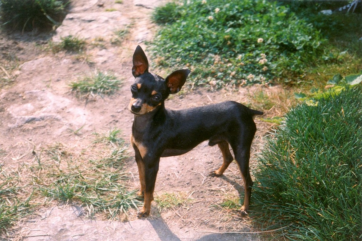 Ratter di Praga cane