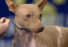 American Hairless Terrier cane