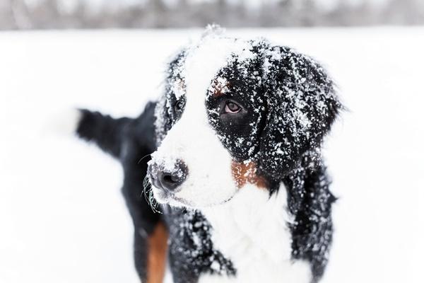 cane di tipo pastore