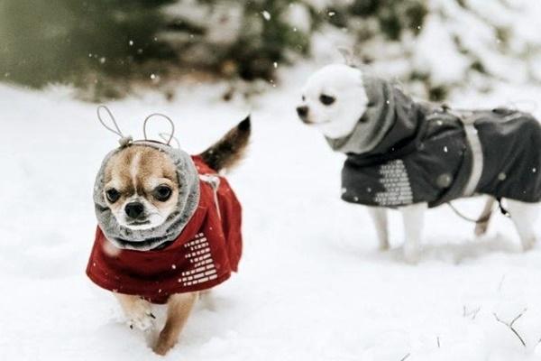 proteggere i chihuahua dal freddo