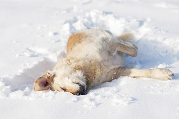 cane bianco che rotola sulla neve