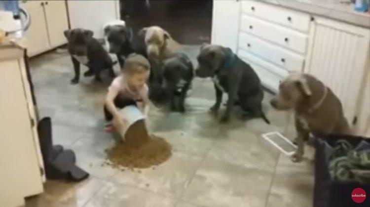 Taysley, la bambina che controlla 6 pitbull affamati (VIDEO)
