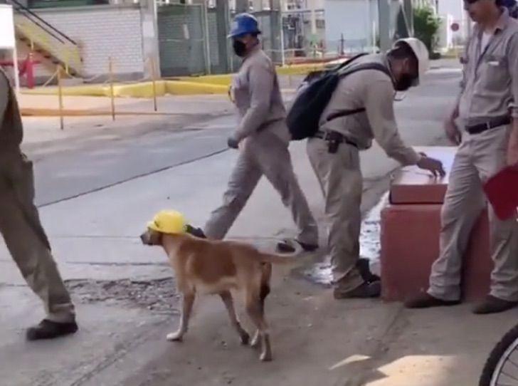 Un cane lavora in cantiere indossando il casco (VIDEO)