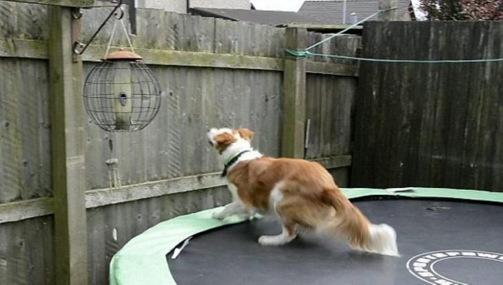 paddy cane saltare recinto alto