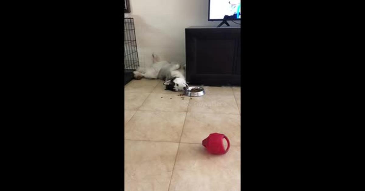 Husky mangia in una strana posizione: sdraiato (VIDEO)