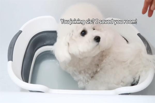 Il Barboncino Bom fa il bagno ed è davvero molto dolce (VIDEO)