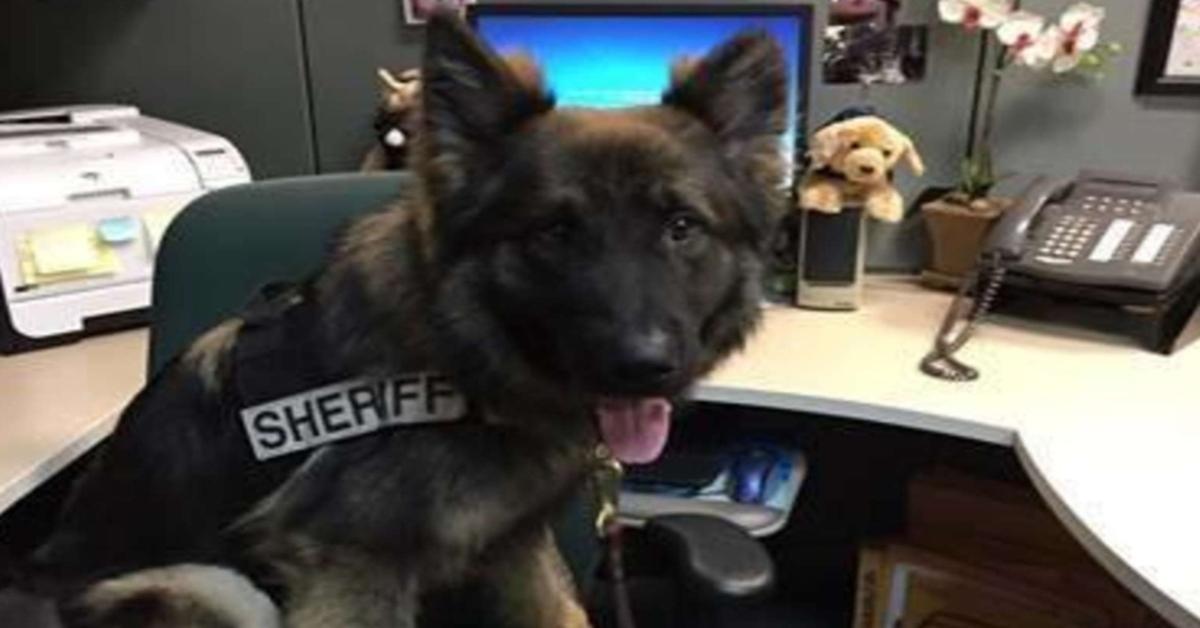 Chico, il Pastore Tedesco poliziotto ha avuto la sua foto ufficiale in uniforme