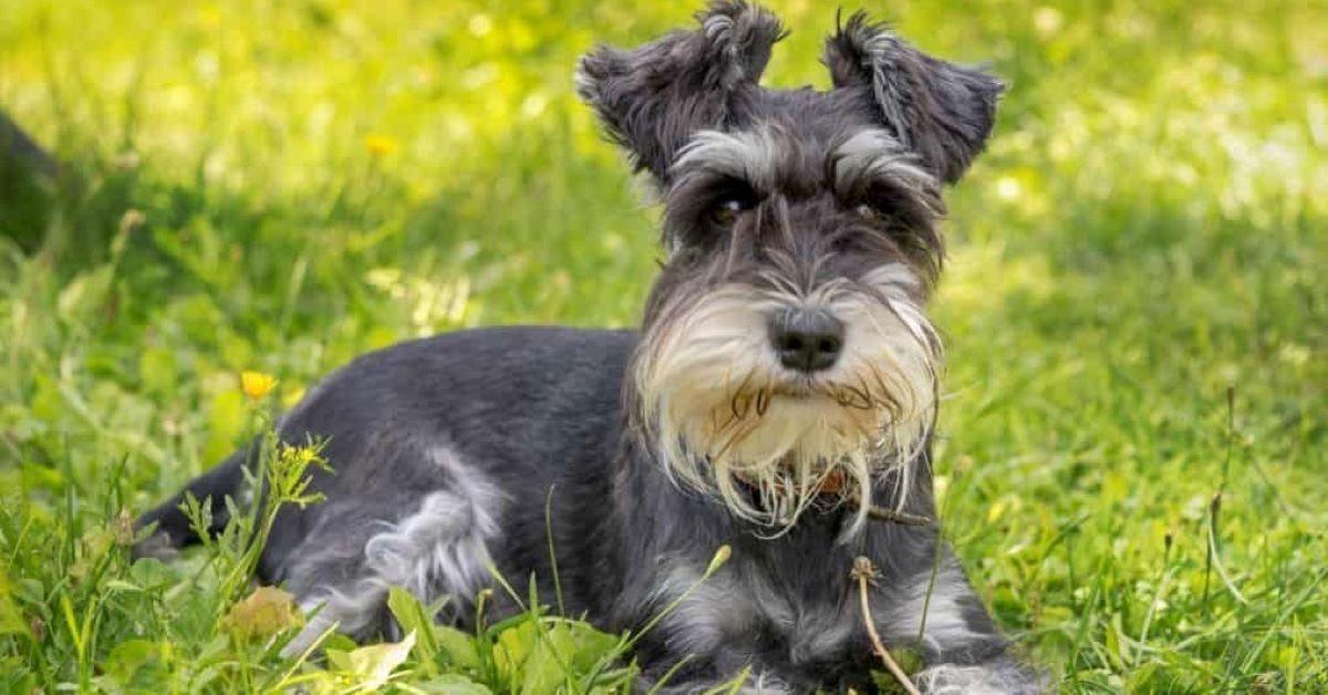 cucciolo di schnauzer