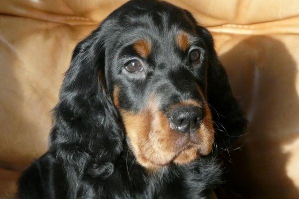 Cuccioli di Setter Scozzese: carattere, indole e cosa bisogna sapere su di loro