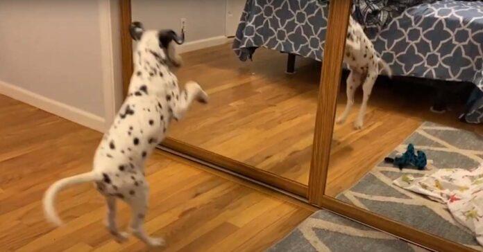 Cucciolo di Dalmata si guarda allo specchio