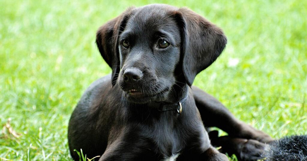 Cucciolo di Labrador rincorre il suo stesso guinzaglio e il video diventa virale