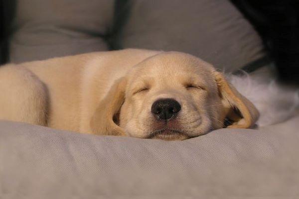 Cucciolo di cane piange nel sonno, che cosa significa? I motivi e cosa fare
