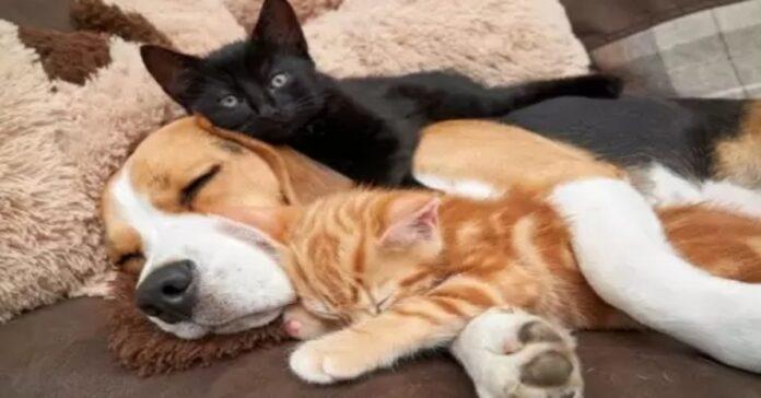 Beagle dorme con dei gattini