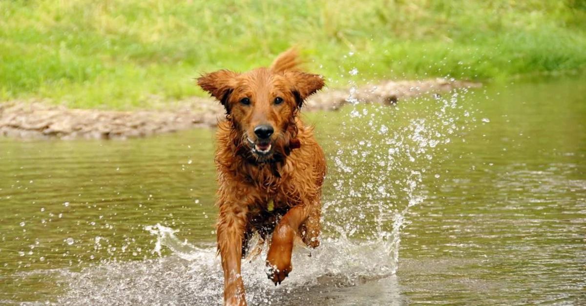 La felicità del pastore tedesco che gioca nella pozzanghera (VIDEO)
