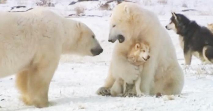 cani da slitta giocano con orsi